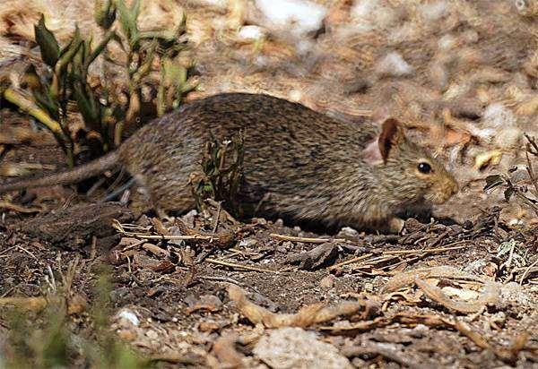 Большая тростниковая крыса (Thryonomys swinderianus), фото грызуны фотография картинка