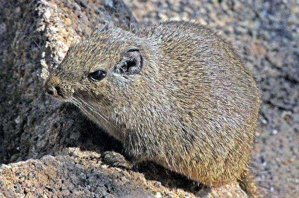 Скальная крыса (Petromus typicus), фото грызуны фотография картинка