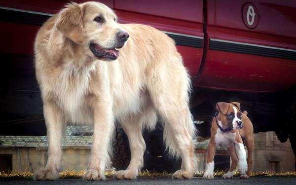 Лабрадор ретривер и щенок боксера, фото кормление собак фотография картинка