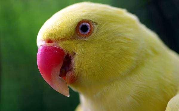 Желтый попугай, фото кормление птиц попугаев фотография картинка