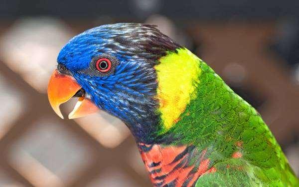 Радужный лори, или многоцветный лорикет (Trichoglossus haematodus), фото кормление птиц попугаев картинка фотография