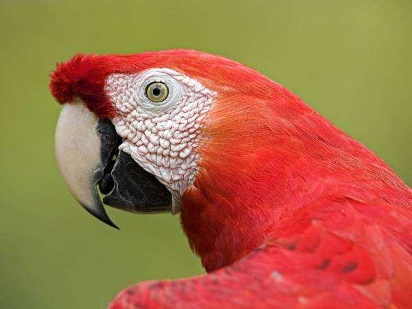Красный ара (Ara macao), фото кормление попугаев птицы фотография