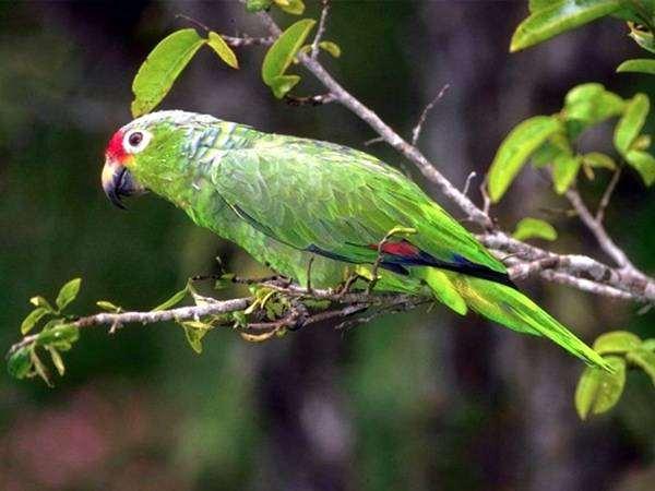 Желтощекий амазон, краснолобый амазон (Amazona autumnalis), фото кормление попугаев фотография картинка птицы