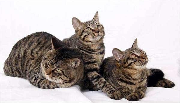 Дракон Ли, Ли Хуа, Ли Мао, фото породы кошек кошки фотография