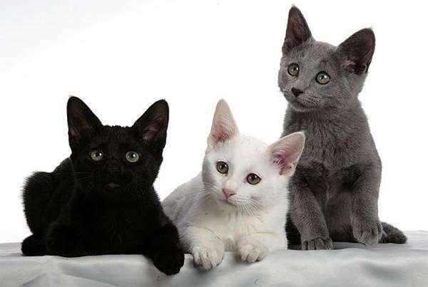 Русская белая, русская черная, русская голубая кошки, котята фото породы кошек фотография картинка