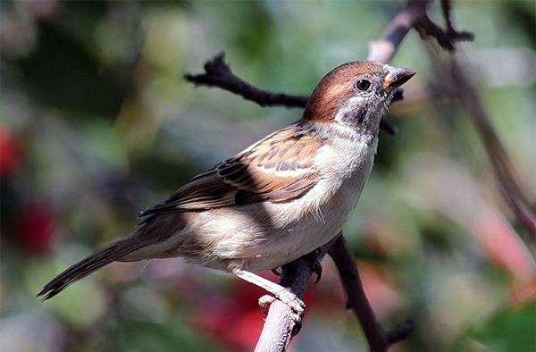 Полевой воробей (Passer montanus), фото ткачиковые птицы фотография