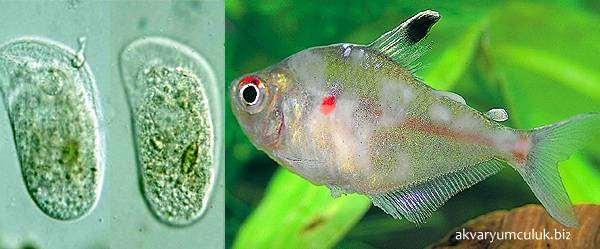 Хилодонеллез, сам паразит и пораженная рыба, фото болезни рыб фотография
