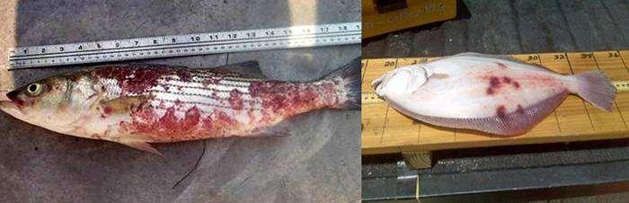 Туберкулез у рыб, фото болезни рыб фотография