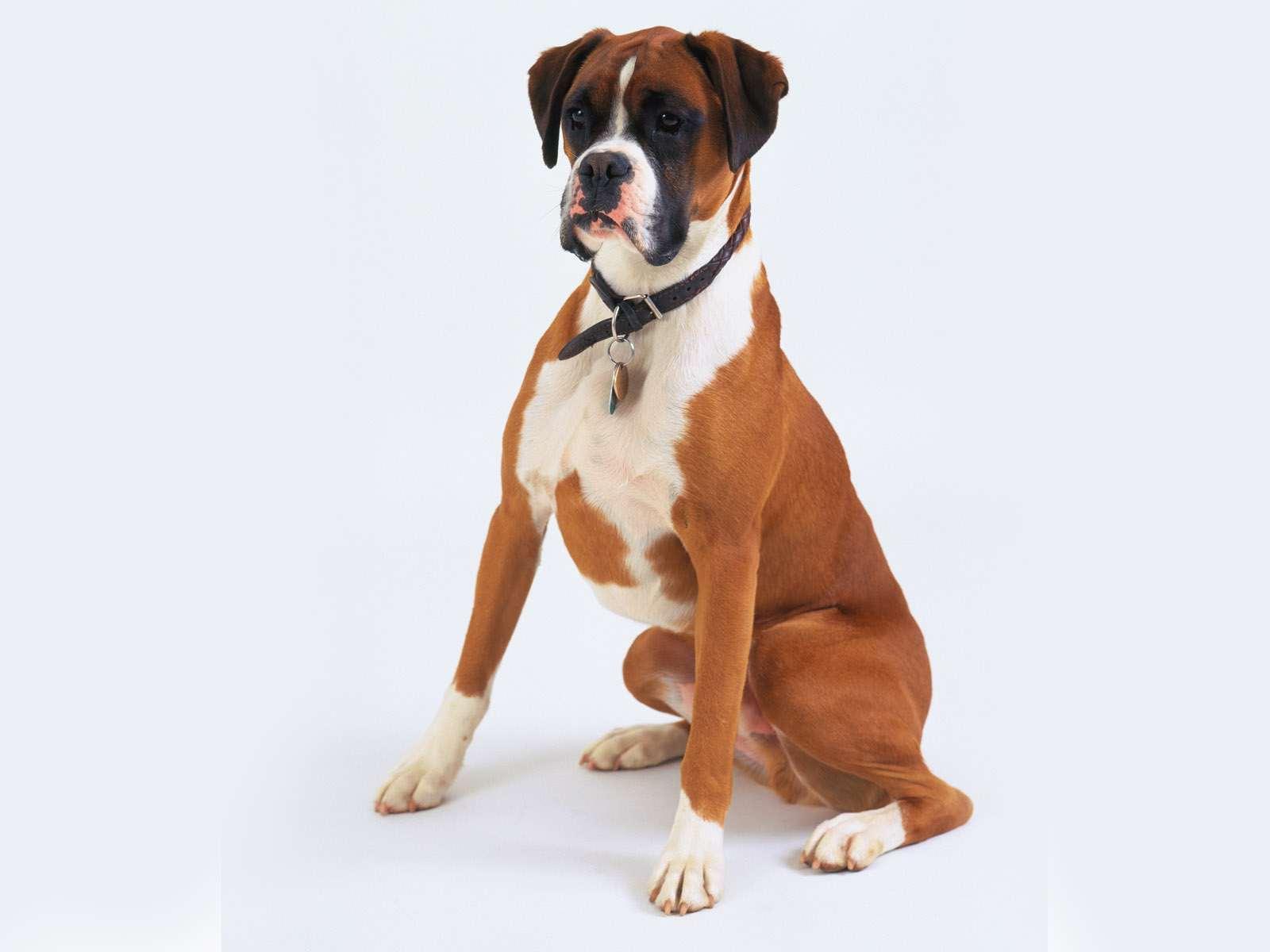 Немецкий боксер, фото породы собак картинка