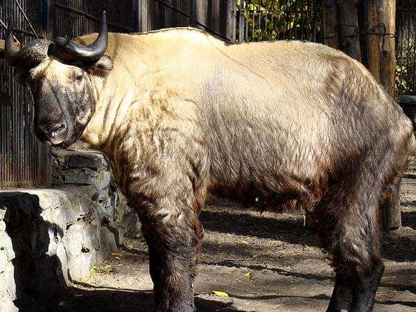 Такин (Budorcas taxicolor), фото фотографии парнокопытные