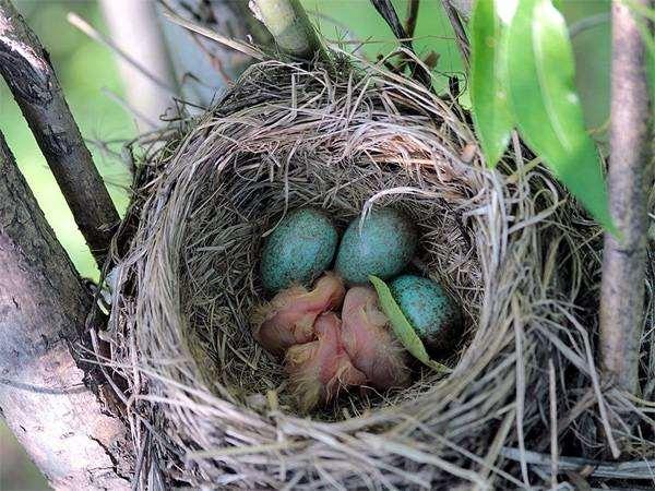 Гнездо дрозда-рябинника (Turdus pilaris), фото воробьиные птицы фотография