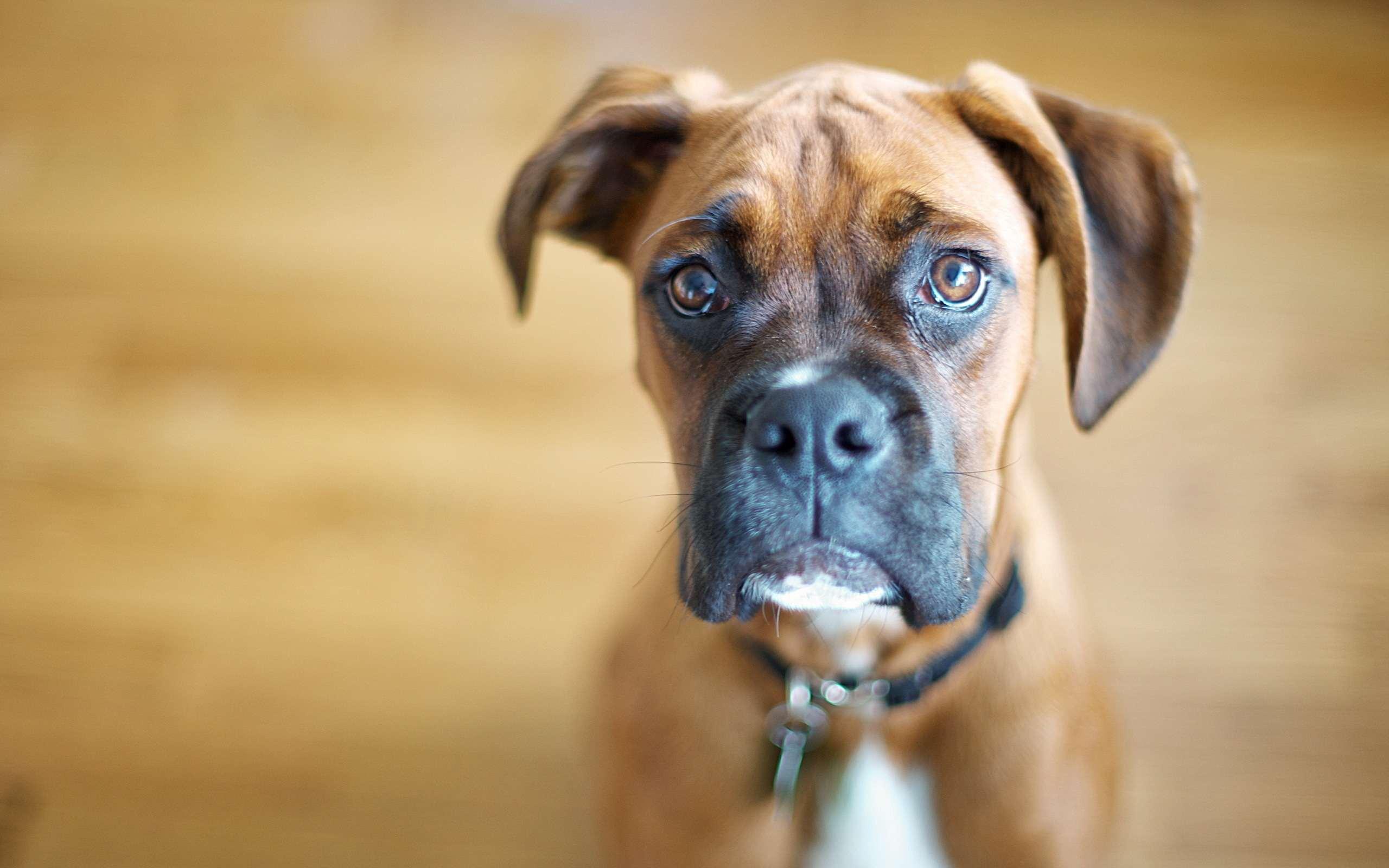 собака пёс взгляд морда dog view muzzle  № 690637  скачать