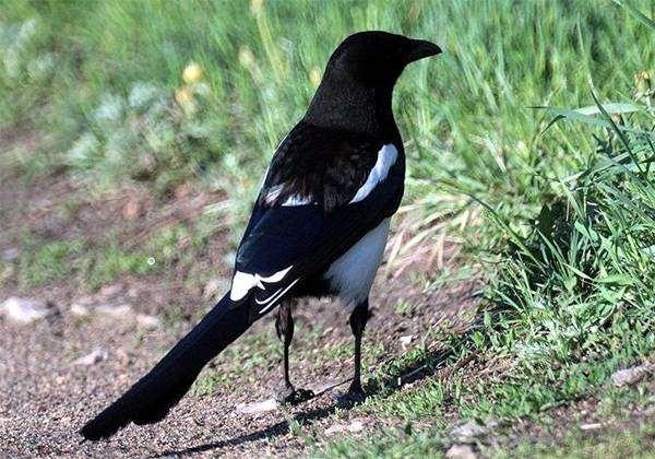 Сорока (Pica pica), фото врановые птицы фотография