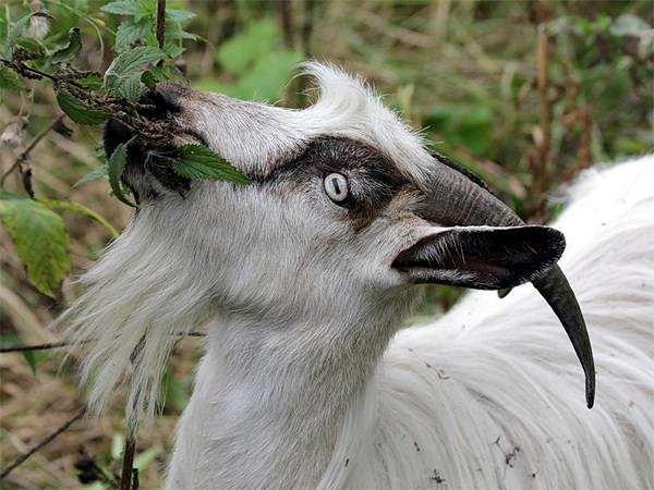 Коза объедает растение, фото фотография полорогие животные