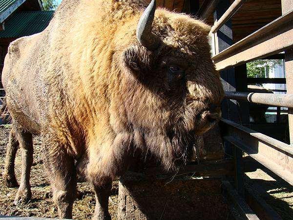 Зубр, европейский бизон (Bison bonasus), фото фотография парнокопытные