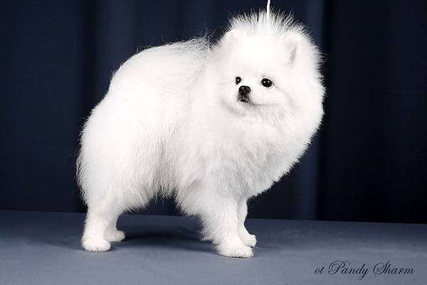 Белый померанский шпиц, фото экспертиза собак фотография