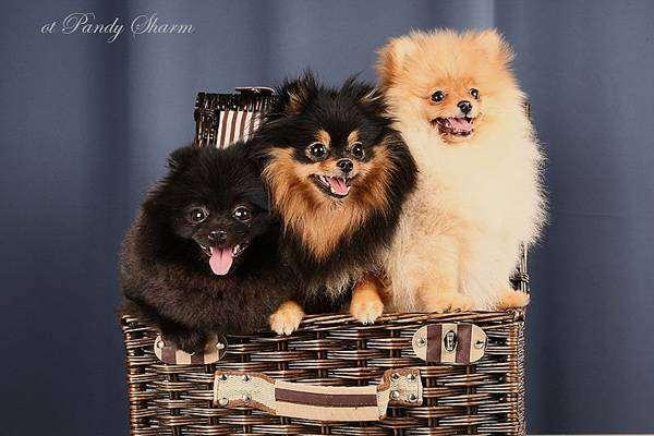 Померанские шпицы, фото породы собак фотогграфия