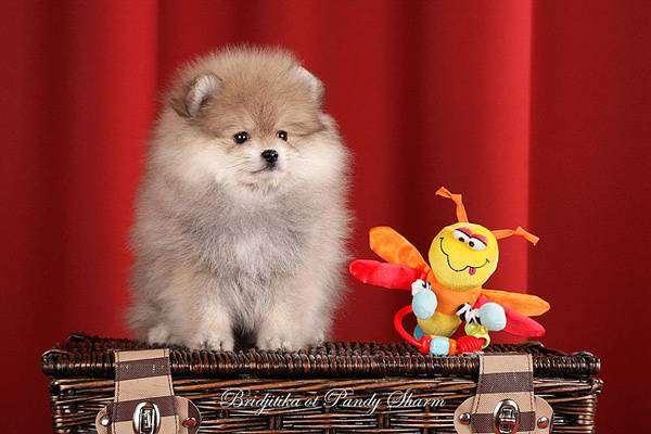 Щенок немецкого миниатюрного (померанского) шпица, фото породы собак фотография