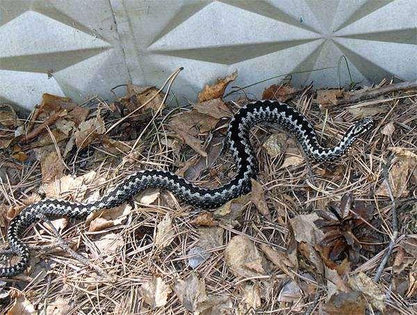 Обыкновенная гадюка (Vipera berus), фото змеи фотография