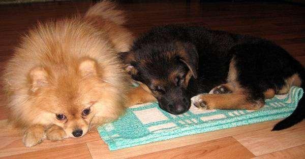 Щенок немецкой овчарки и немецкий миниатюрный шпиц, фото собаки фотография