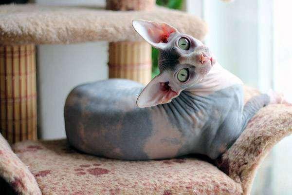 Канадский сфинкс, фото породы кошек фотография