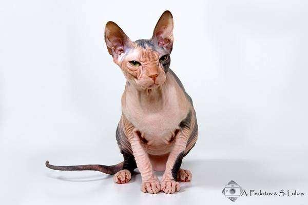 Донской сфинкс, фото породы кошек фотография картинка