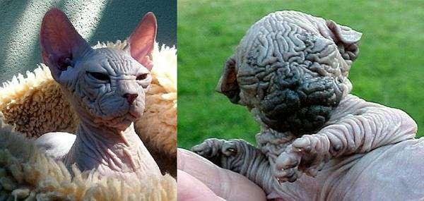Кохона, или гавайская бесшерстная кошка, фото породы голых кошек фотография