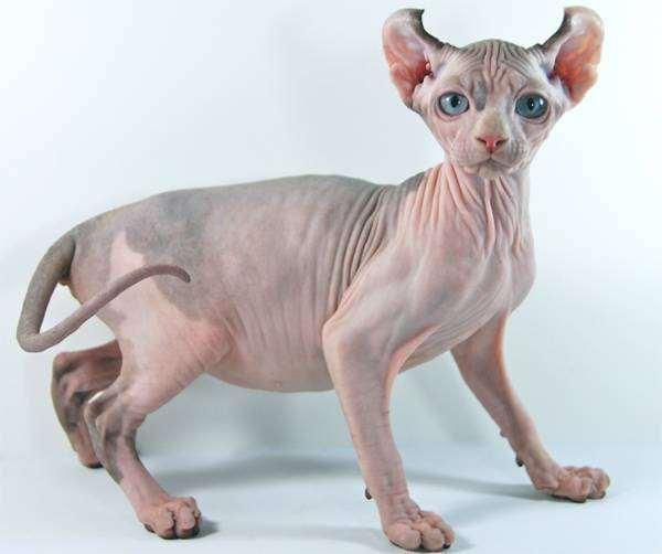Кошка эльф, фото породы кошек фотография картинка