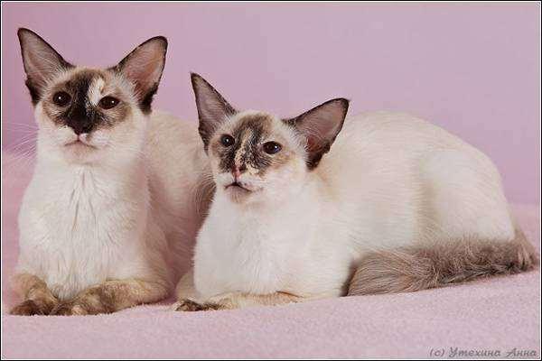 Балийская (балинезийская) кошка, фото породы кошек фотография картинка