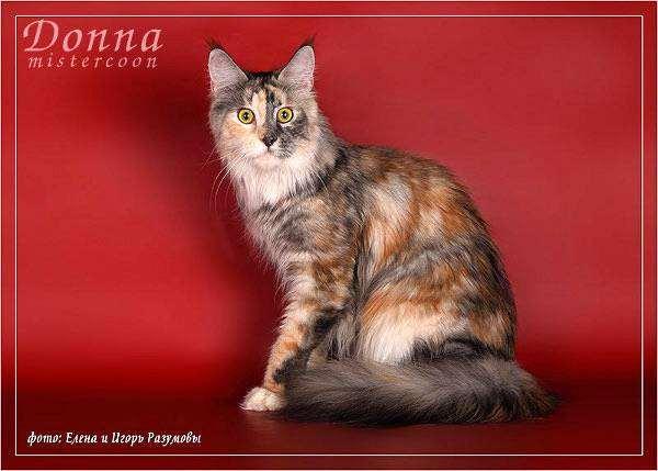 Мейн-кун, менская енотовая кошка, фото породы кошек фотография картинка