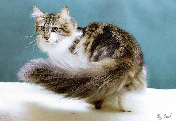 Норвежская лесная кошка, фото породы кошек фотография