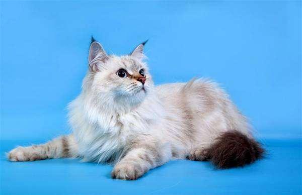 Невская маскарадная кошка, сибирский колор-поинт, фото породы кошек фотография
