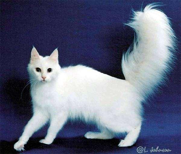 фото порода кошек ангорская