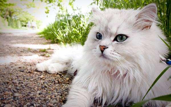 Персидская шиншилла, персидская кошка, фото породы кошек фотография