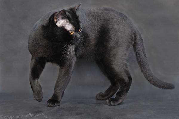Бомбейская кошка, бомбей, фото породы кошек картинка