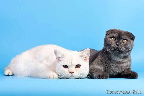 Британская короткошерстная и шотландская вислоухая кошки, фото породы кошек фотография