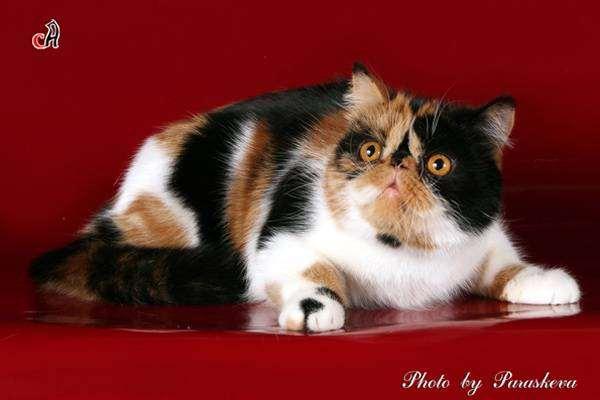 Экзотическая короткошерстная кошка, экзот, фото породы кошек картинка
