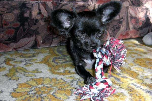 Чихуахуа грызет игрушку фото