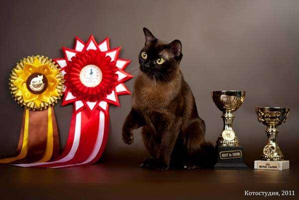 Бурманская кошка, бурма, фото картинка породы кошек изображение