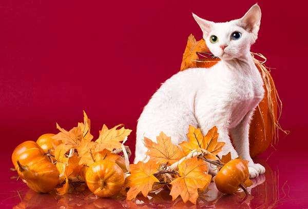 Девон рекс, фото породы кошек фотография картинка
