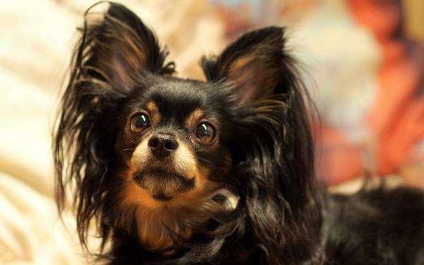 Длинношерстный той-терьер, фото породы собак фотография картинка