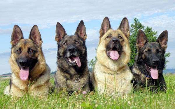 Немецкие овчарки, фото породы собак фотография изображение