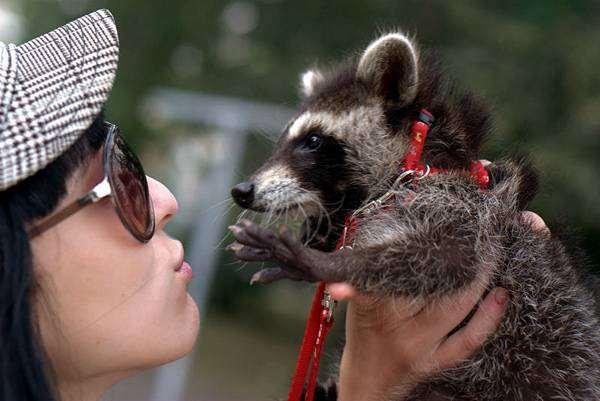 Енот-полоскун, фото интересные факты о животных фотография
