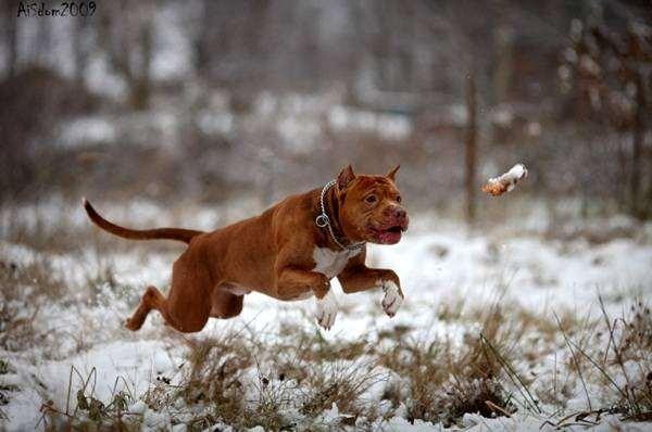 Питбультер ловит игрушку, фото породы собак фотография