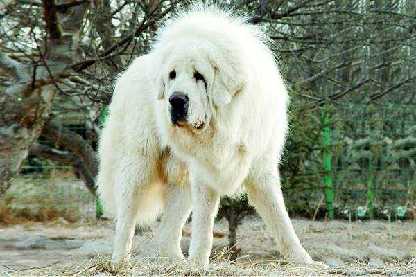 тибетский белый мастиф фото