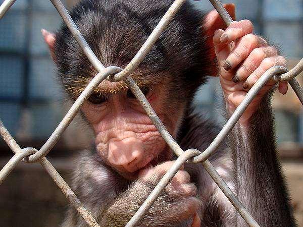 Обезьяна в клетке, приматы фото фотография