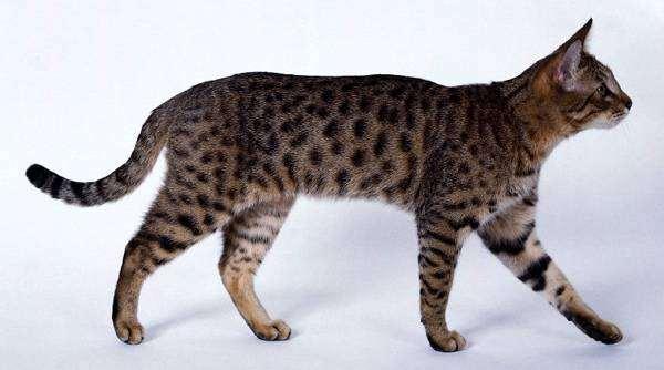 Калифорнийская сияющая кошка, фото породы кошечек фотография