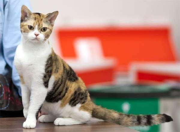 Американскиая жесткошерстная кошка, фото породы кошек картинка