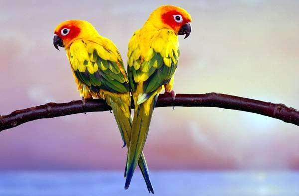 Солнечная, или желтоголовая аратинга (Aratinga solstitialis), фото птицы попугаи фотография
