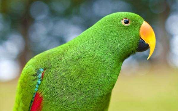 Эклектус, или благородный попугай (Eclectus roratus, Lorius roratus), фото попугаи картинка фотография